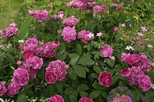china roses nature kingdoms