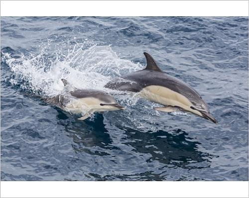 white-beaked-dolphin