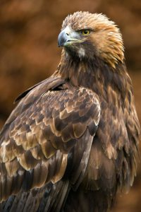 golden-eagles