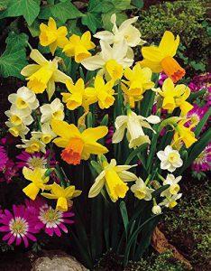 miniature-daffodils