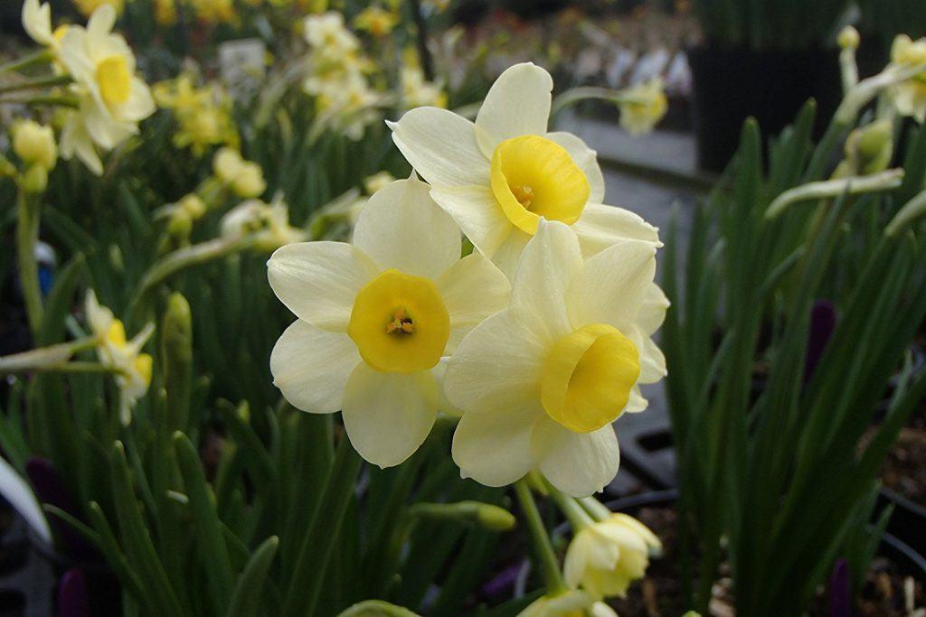tazetta-daffodils