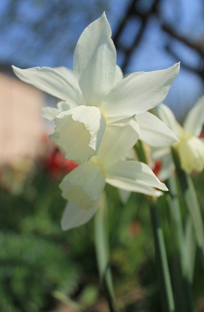 triandrus-daffodils